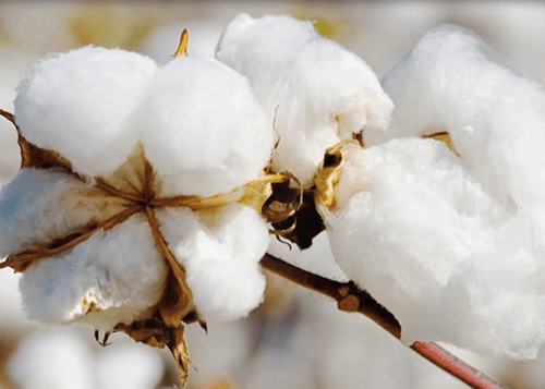 Local Cotton Market Report